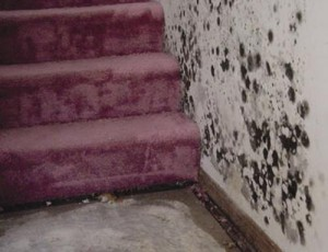 Mold growing on wall and carpet